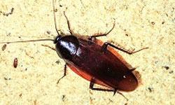 クロゴキブリの画像