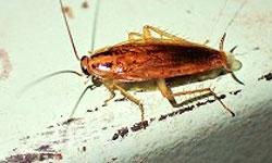 チャバネゴキブリの画像