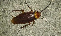 ワモンゴキブリの画像