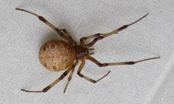 ハイイロゴケグモの画像