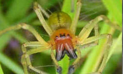 カバキコマチグモの画像